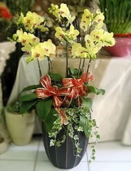 八株黃金蝴蝶蘭花盆栽