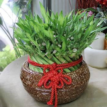 《如意》開運竹盆栽