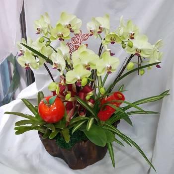 《喜洋洋》5株迷你黃金蝴蝶蘭花
