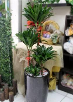 《節節高升》阿波羅盆栽