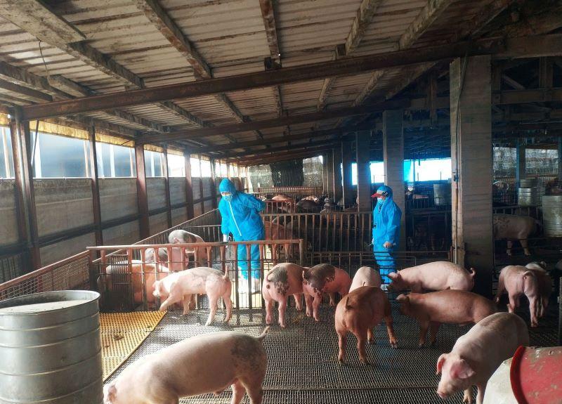 阻絕非洲豬瘟禁用廚餘養豬   宜縣將加強稽查與宣導