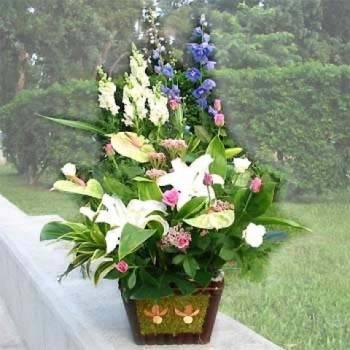 《迎春》盆花