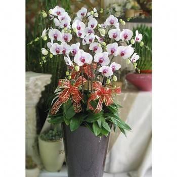 《極緻》加大花器12株人工培育白色蝴蝶蘭盆栽
