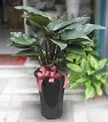 中大型紅寶石綠葉盆栽