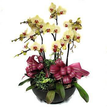 六株黃金蝴蝶蘭盆栽