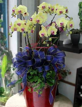 七株黃金蝴蝶蘭落地大花器