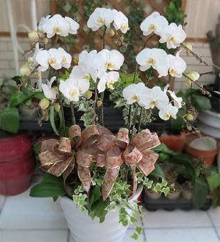 八株白色蝴蝶蘭盆栽