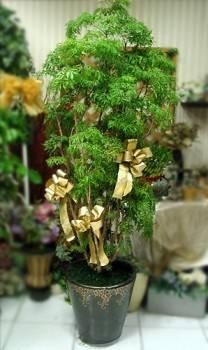 170CM富貴樹綠葉盆栽(單一樹根非多枝插枝根)