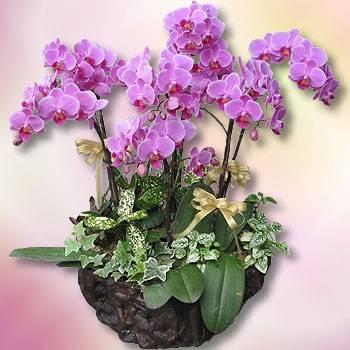 《喜迎春》7株迷你紅蝴蝶蘭花組合盆栽