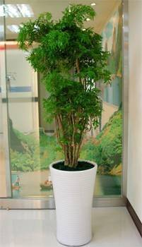 160CM富貴樹綠葉盆栽