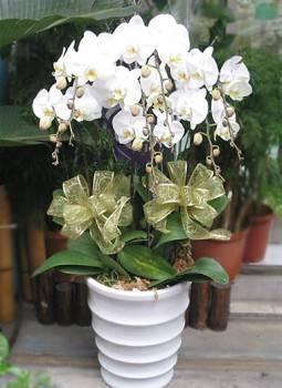 七株白色蝴蝶蘭盆栽