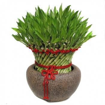 《富貴圓滿》大型開運竹盆栽