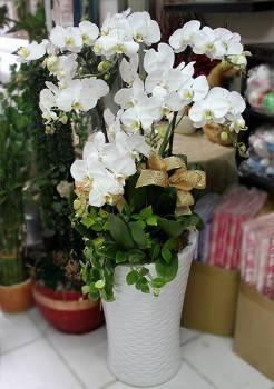 七株白色蝴蝶蘭加高大花器