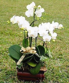 三株白色蝴蝶蘭花盆栽