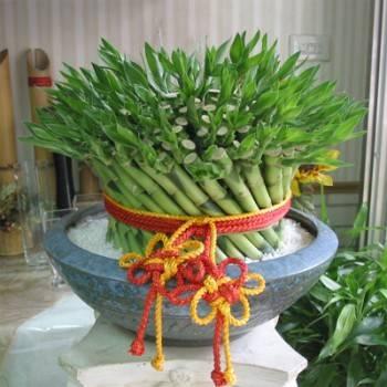 【大器】大型開運竹盆栽