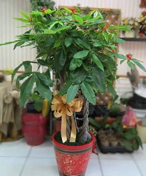 馬拉巴栗(發財樹)大盆栽300D