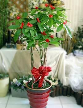 馬拉巴栗(發財樹)盆栽260D