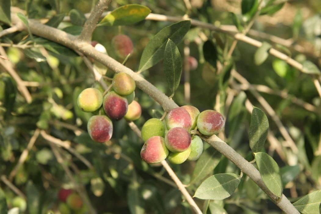 朱卡瑞洛絕品處女吉梅兒橄欖油