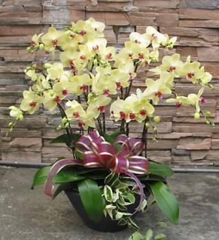 12株黃金蝴蝶蘭花盆栽